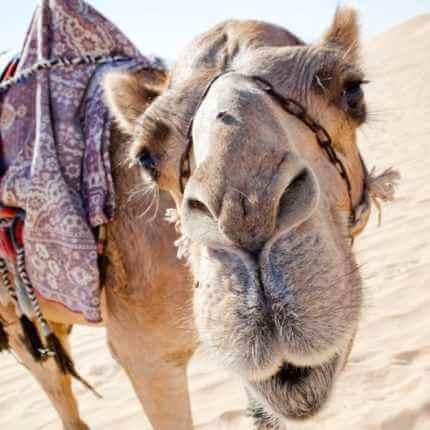Верблюд, Караван в Узбюекистане