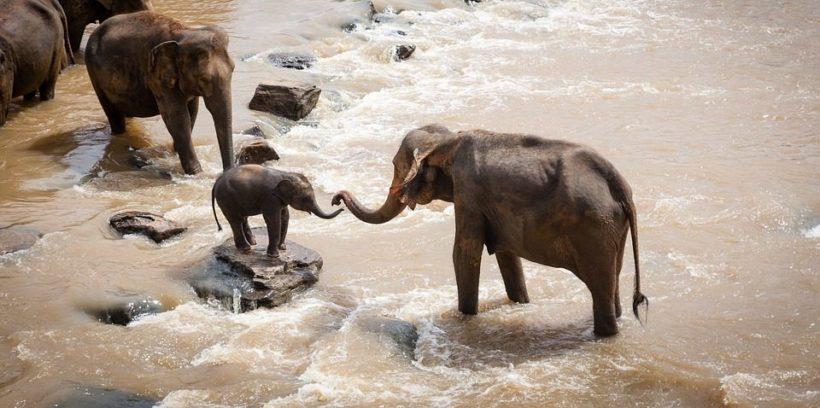 elephants_india