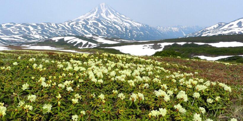 flowers-kamchatka
