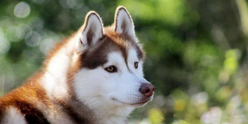Собаки Хаски на Камчатке