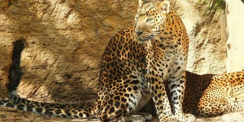 panther_srilanka