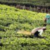 tea_shrilanka