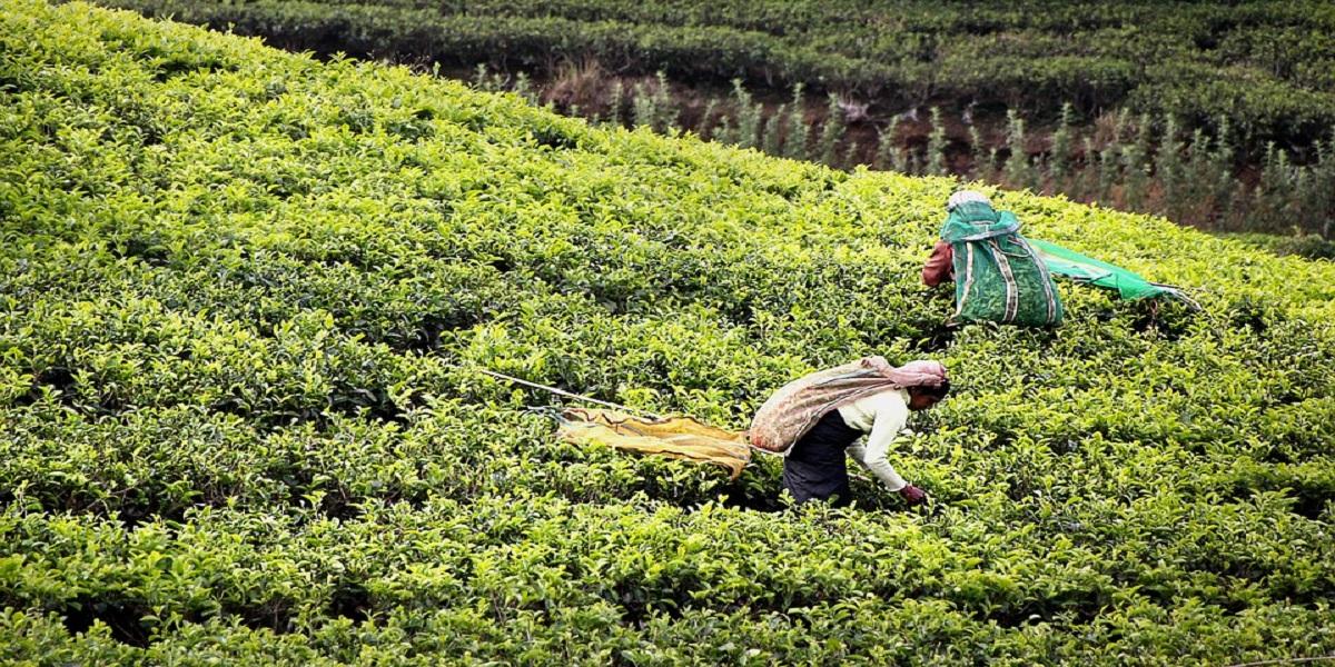 Чайная плантация на Шри-Ланке