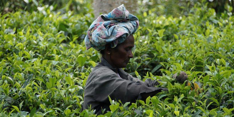 tea_srilanka
