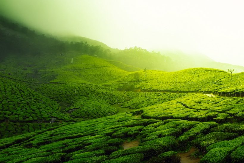 teaplantation_india