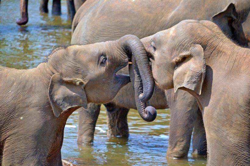 young-elephants_srilanka